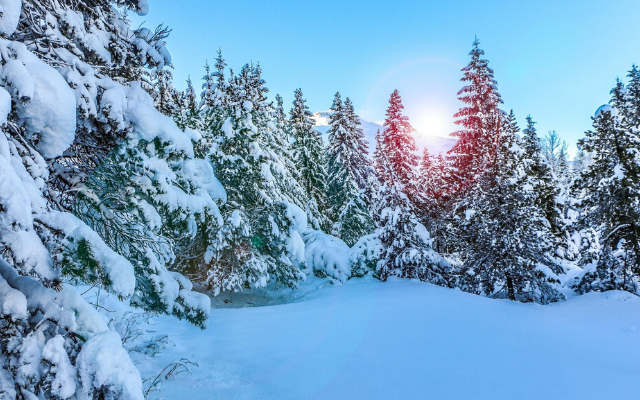 Snow covering group of evergreen trees